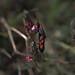 Zigena común  o de seis manchas (Zygaena filipendulae)