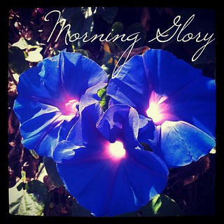 Garden Alphabet: Morning Glory from A Gardener's Notebook (http://DouglasEWelch.com/agn/)