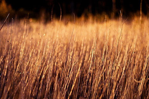 summer grass sunrise reeds amber early nikon warm grain nikon50mmf18 nikond90 adropinthebucket