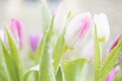 [Free Images] Flowers / Plants, Tulip, Water Drop ID:201303200600