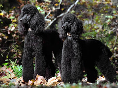 schnoodle(0.0), boykin spaniel(0.0), pumi(0.0), curly coated retriever(0.0), lagotto romagnolo(0.0), poodle crossbreed(0.0), cockapoo(0.0), portuguese water dog(0.0), spanish water dog(0.0), barbet(0.0), american water spaniel(0.0), miniature poodle(1.0), standard poodle(1.0), dog breed(1.0), animal(1.0), dog(1.0), pet(1.0), mammal(1.0), irish water spaniel(1.0), poodle(1.0),