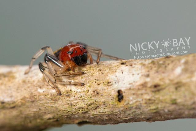 Crab Spider (Camaricus maugei) - DSC_6266