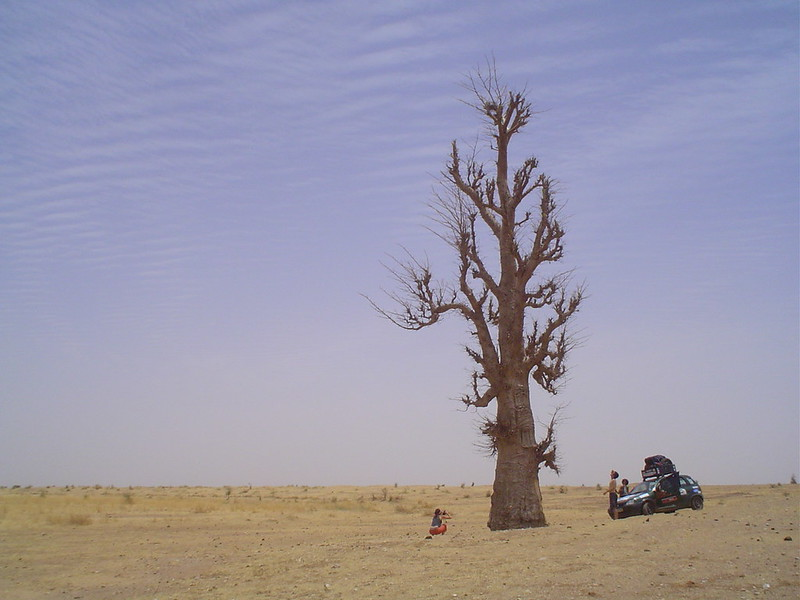 Fotografia de uma enorme árvore embondeiro no Senegal