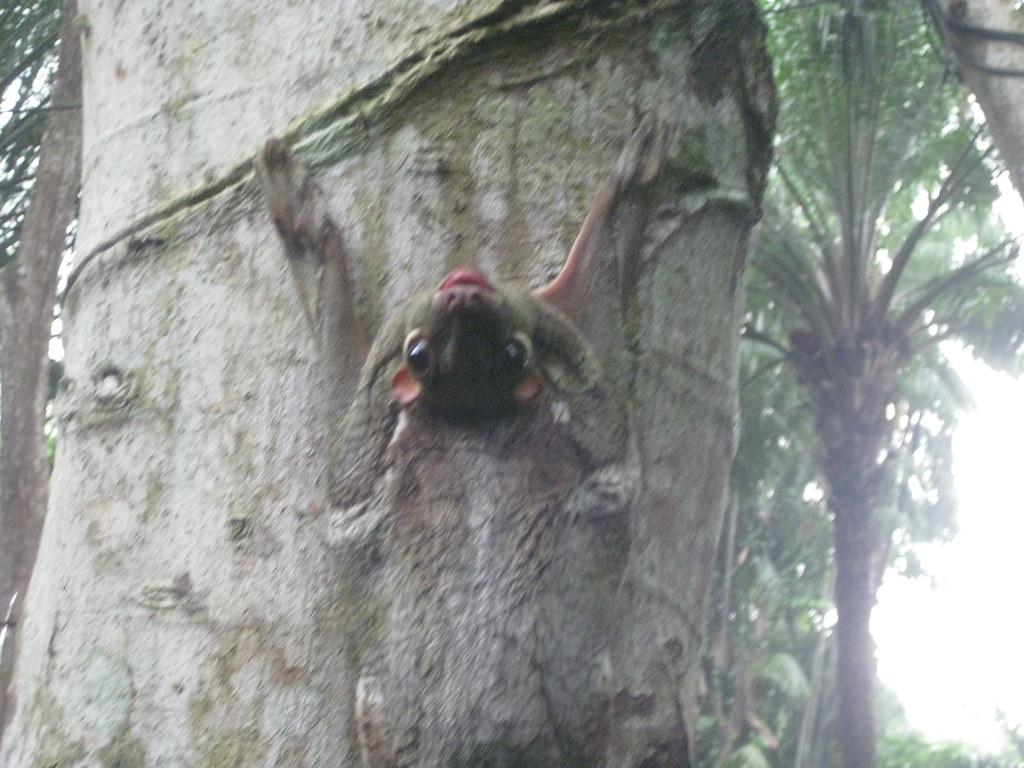 x colugo wild in Singapore IMG_6224