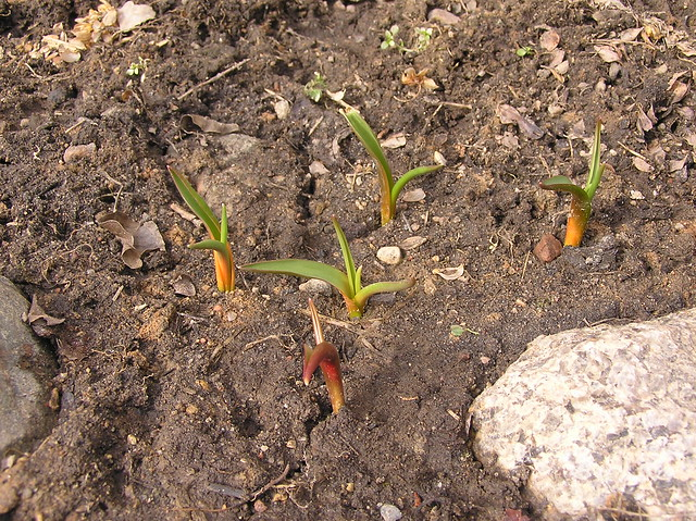 Tulipa albo caerulea