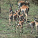 Small photo of Impala (Aepyceros melampus)