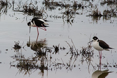 wetland, animal, fauna, ciconiiformes, stilt, shorebird, beak, bird, wildlife,