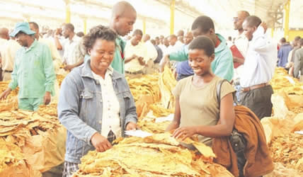 Zimbabwe farmers marketing tobacco. The production of the crop has increased in recent years due to the land redistribution program. by Pan-African News Wire File Photos