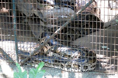 big-snake-in-cage.jpg