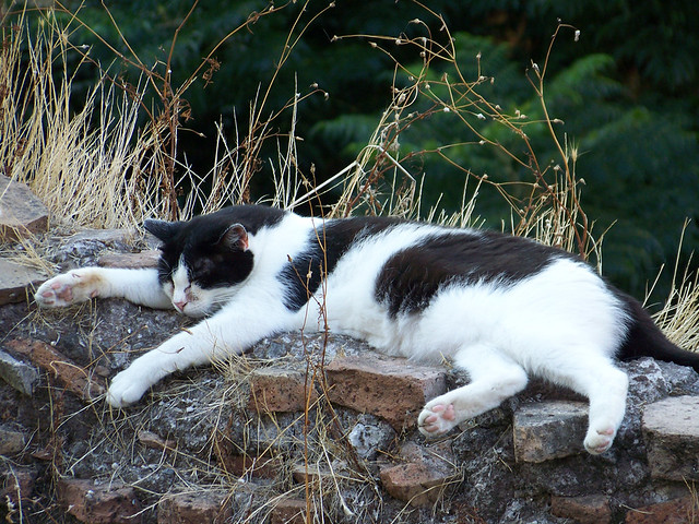 Gato de Torre Argentina tumbadito
