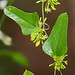 Smilax auriculata - Photo (c) Mary Keim, some rights reserved (CC BY-NC-SA)