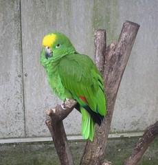 animal, parrot, yellow, wing, pet, green, fauna, parakeet, common pet parakeet, beak, bird,