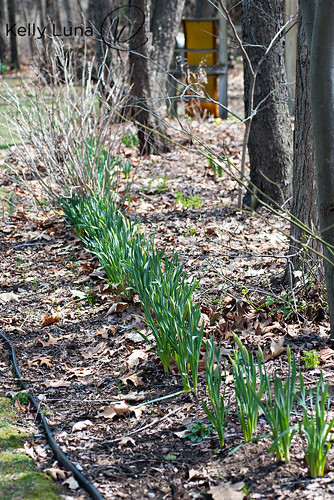 041413 tulips