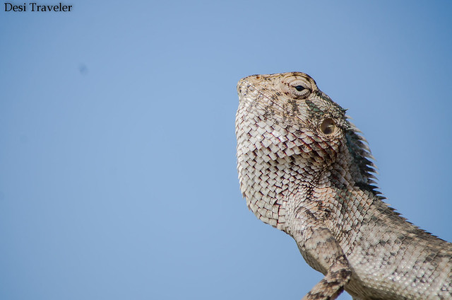 oriental garden lizard sunbathing in botanical garden kondapur hyderabad