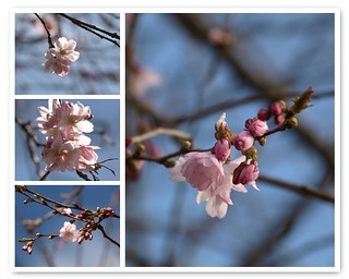 The Prunus