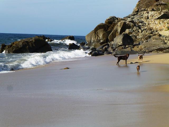 Dogs playing in Sayulita