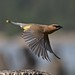 Cedar Waxwing using those impressive flight muscles. by ebeckes
