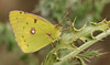 Clouded yellow Butterfly (Colias croceus).