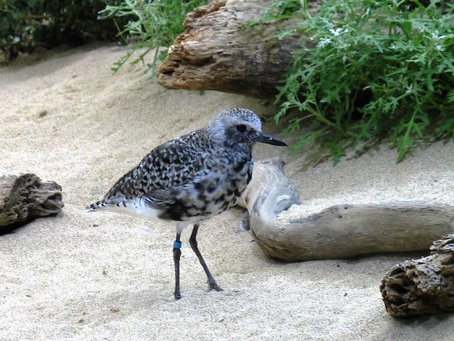 Plover_Black-bellied_MontereyAquarium_CA_20060102, Canon POWERSHOT G3