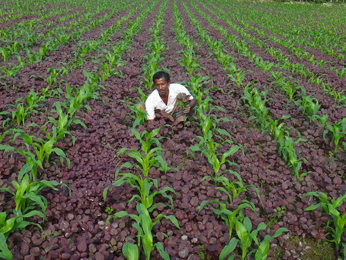 Intercropping in Bangladesh