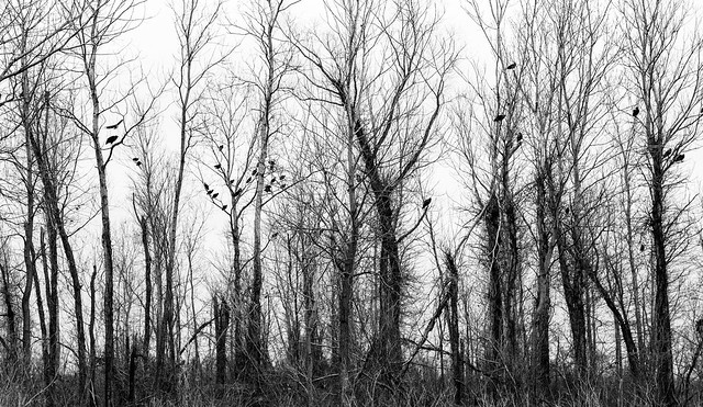 Photo:Vultures in the Trees By danielfoster437