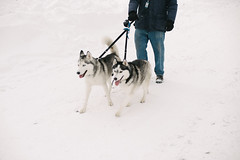 dog, winter, siberian husky, snow, pet, mammal, sled dog,