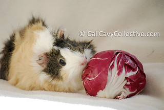 can guinea pigs eat radicchio
