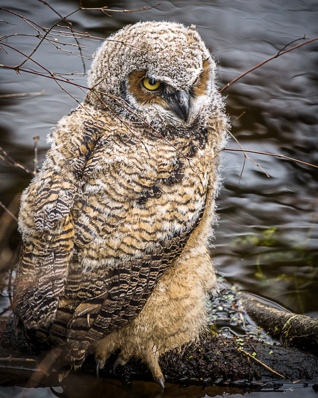 Great Horned Fledgling