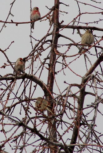 Common Redpoll: My Yard, Cache Valley, UT