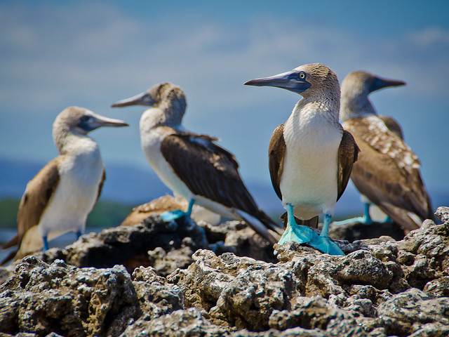 Galapagos Birds: Blue-Footed Booby