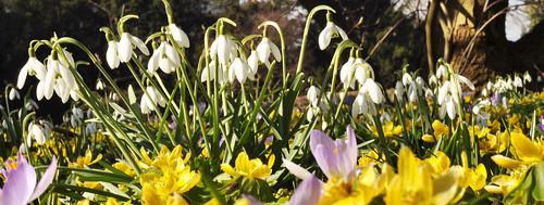 Frühblüher: Krokusse Schneeglöcken Märzenbecher Winterlinge Schneerosen