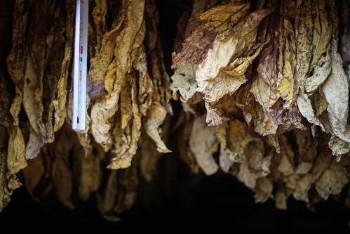 My tobacco world - Flue Cured Grading 8536459443_14ae073edb