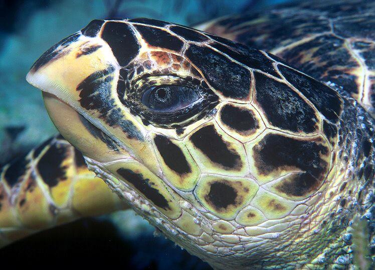 玳瑁像老鷹的嘴。圖片來源:維基百科。http://zh.wikipedia.org/wiki/File:Hawksbill_turtle_doeppne-081.jpg
