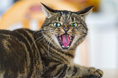 [Free Images] Animals (Mammals), Cats, Get Angry, Animals - Open One's Mouth ID:201303111000