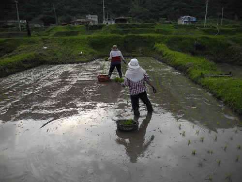 豐濱港口部落水梯田復耕團隊,今年在下6甲地,並加入台粳2號品系。