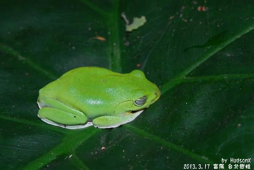 台北樹蛙(1)