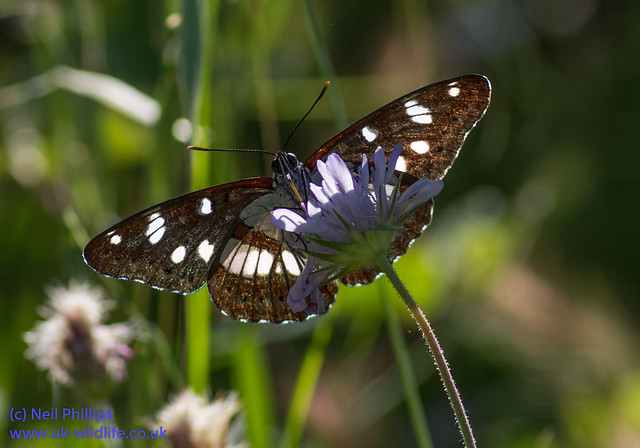 southern white admiral butterfly backlit