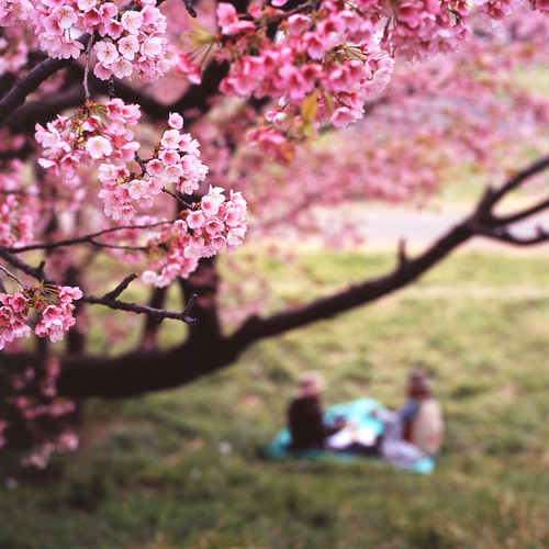 [フリー画像素材] 花・植物, 桜・サクラ, 人物 - 花・植物, 花見, 風景 - 日本 ID:201303270600
