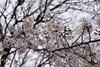 Photo:Sakura By TOT_Main
