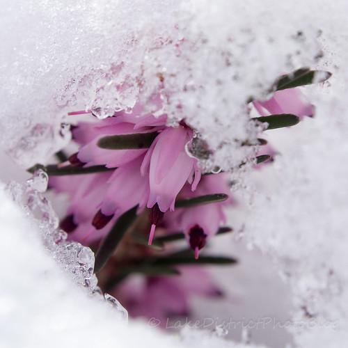 雪をかぶったヒースの花