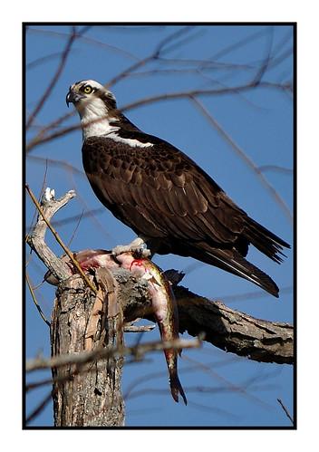 Osprey Frerich by jambori39 via I {heart} Rhody