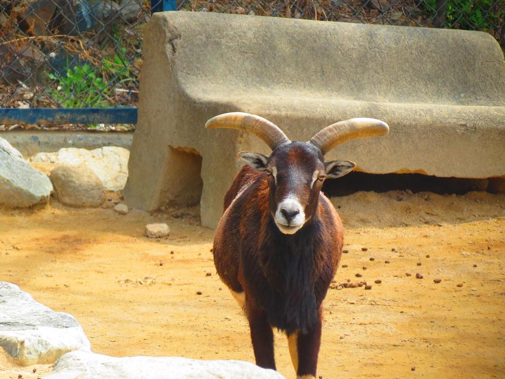 Goat at Dalseong Park