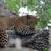 Leopard (Lance Tuckett)