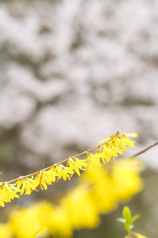 Sakura in Kyoto 16