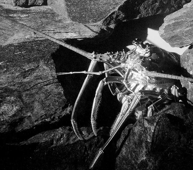 Lobster WLD_6415