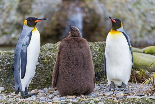 Two adult penguins around a young one by Tambako the Jaguar