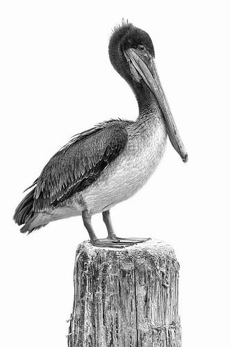 bw bird canon blackwhite pelican morrobay f28 zoomlens 70200mm imago2007