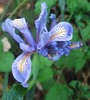 Purple Douglas Iris