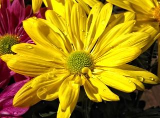 Yellow-Daisy