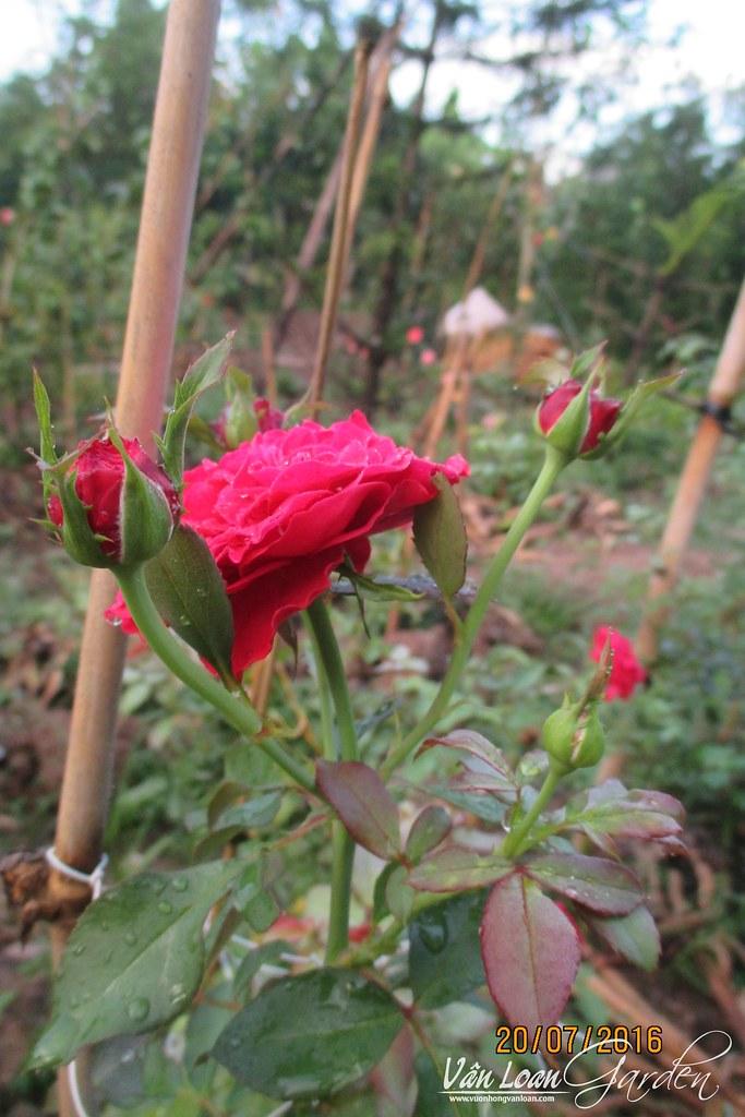 Hong leo mong thi monalisa (1)-vuonhongvanloan.com
